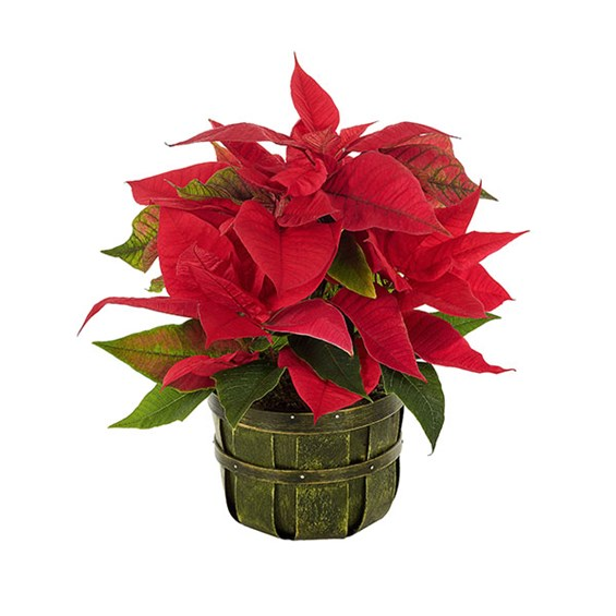 Traditional Holiday Poinsettia (BF438-11KMP)